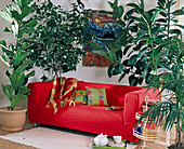 Room Trees, Ficus Lyrata, Abutilon, Ficus