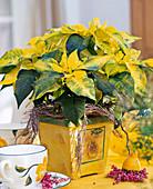 Euphorbia pulcherrima 'fantasy star'