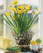 Narcissus 'Tete Á Tete', Pot of willow catkins