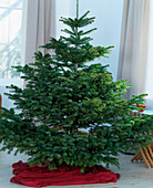 Christmas tree, Nordmann fir unadorned, Abies nordmanniana