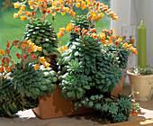 Echeveria herbergii (Echeverie)