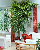 Ficus benjamina (birch fig) as a room tree