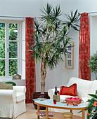 Dracaena marginata (dragon tree) as a room tree