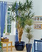 Room trees, Dracaena marginata