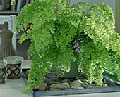 Adiantum raddianum (maidenhair fern)