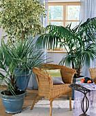 Ficus benjamina 'Variegata', Butia capitata