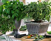 Salvia 'Icterina', basil, marjoram