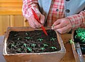 Pick seedlings
