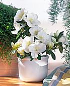 Azalea hybrid 'Kyri'