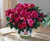 Azalea hybrids 'Kimberly'