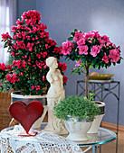 Rhododendron simsii (room azalea)