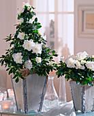 Azalea hybrid 'bird white'
