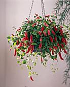Acalypha hispaniolae (foxtail)