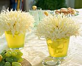 Dahlia hybrid 'Canary Fubuki', fringed decorative dahlia