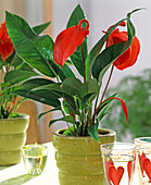 Anthurium hybrid (Flamingo flower)