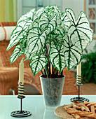 Caladium bicolor 'White Christmas'