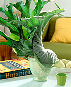 Platycerium grande (staghorn fern, stag antler)