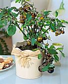 Solanum melangena (ornamental eggplant)