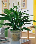 Spathiphyllum wallisii 'Alfa'