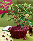 Iresine herbstii 'Aureoreticulata'
