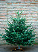 Abies nordmanniana (Nordmann fir) as a Christmas tree