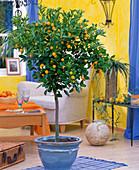 Citrus fortunella (Calamondin orange)