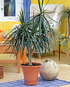 Dracaena marginata (dragon tree)