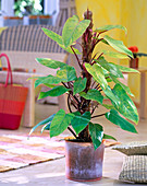 Philodendron erubescens (tree friend)