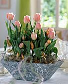 Tin bowl with Tulipa hybrid 'Apricot-Beauty'