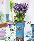 Scilla hyacinthoides (bluebell), Hedera (Ivy)