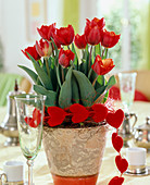 Tulipa hybrid 'Arma' (tulip), chain with velvet hearts