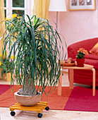 Beaucarnea recurvata (ponytail palm on dolly)