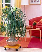Beaucarnea recurvata (ponytail palm on dolly)