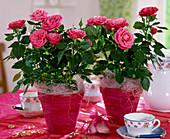 Rose sinensis