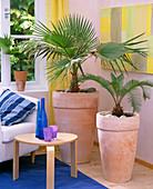 Livistona rotundifolia (umbrella palm), cycas revoluta (cycad fern)