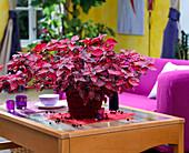 Iresine brilliantissima on living room table