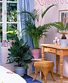 Palm trees in the bedroom, Chamaedorea metallica