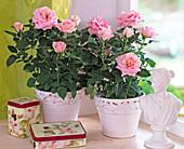 Pink Chinensis (Roses)