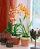 Vuylstekeara (orchid)