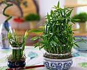Dracaena (Lucky Bamboo)