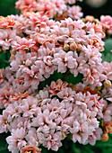 Kalanchoe blossfeldiana, blooming pink