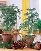Pelargonium denticulatum
