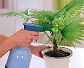 Sick Livistona rotundifolia (Philippine fan palm)
