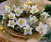 Helleborus niger (Christmas rose), Pinus strobus (silk pine), Asparagus plumosus