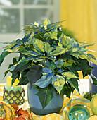 Euphorbia pulcherrima 'fantasy stars'