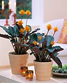 Calathea crocata (flower marant, basket marant)