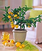 Citrofortunella microcarpa (Calamondin orange)