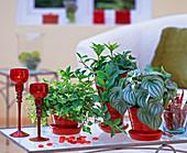 Peperomia rotundifolia, Peperomia pereskiifolia