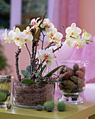 Phalaenopsis (Malay flower) in glass with deadwood
