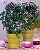 Jasminum polyanthum (Pink carpathian jasmine)